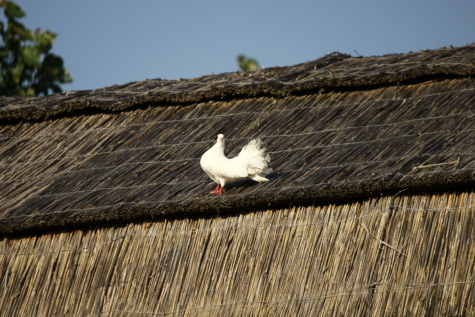 white, pigeon, village, straw, rural, roof, covering, old, family, bird