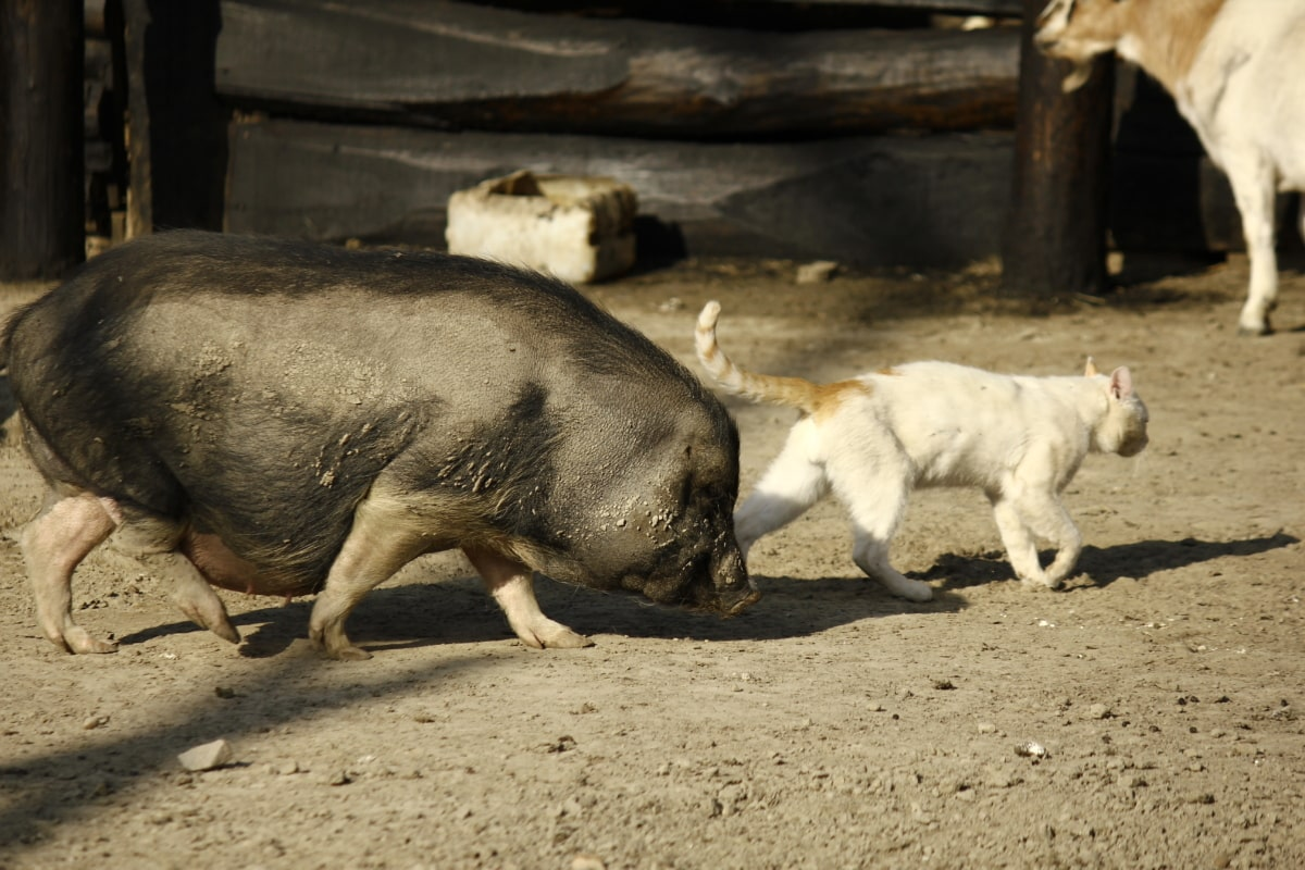pigs, farmhouse, domestic cat, animals, farmland, livestock, wildlife, hog, swine, cattle