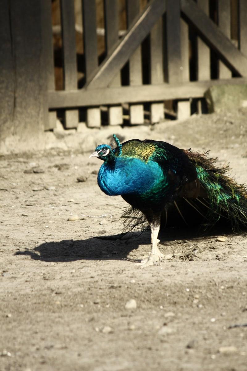 peacock, tail, backyard, barn, shadow, majestic, bird, farmland, pheasant, peafowl