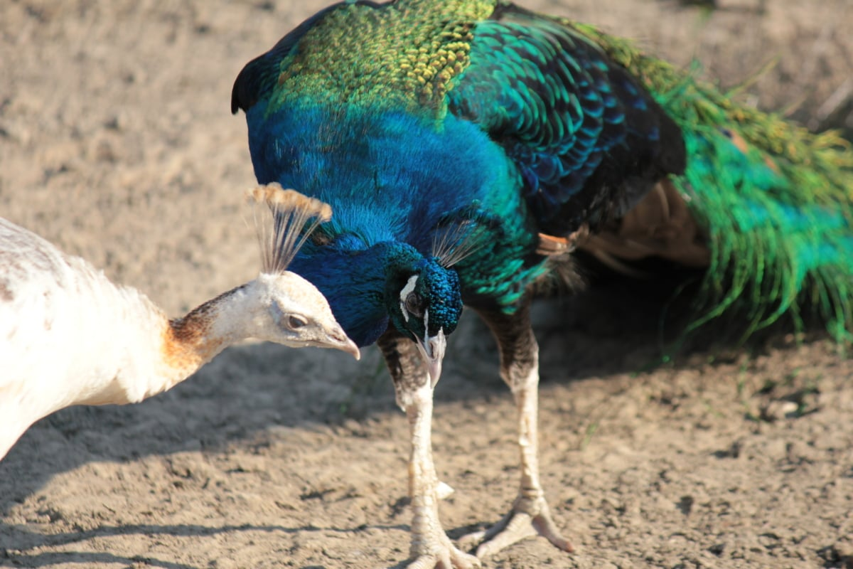peacock, birds, poultry, animals, feather, colorful, majestic, nature, peafowl, beak