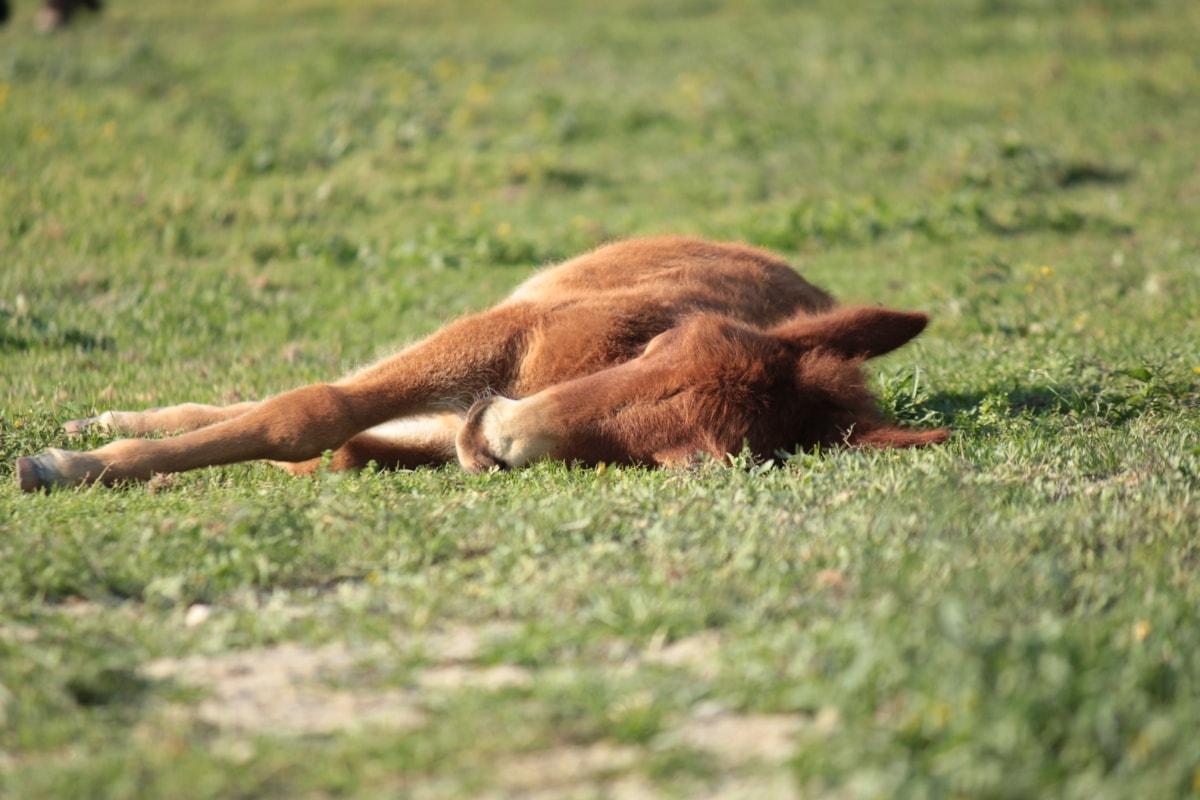 pony, sleeping, livestock, horse, wild, fur, animals, brown, pet, cute
