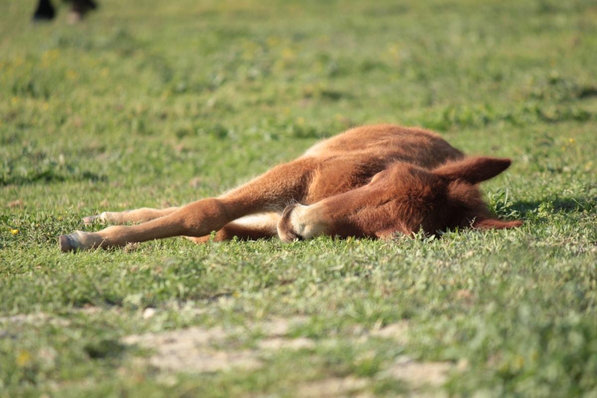 kuda poni, peletakan, tidur, keturunan, sisanya, kuda, rumput, liar, satwa liar, alam