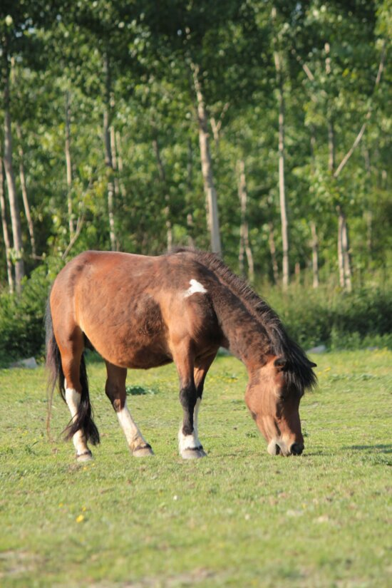 pony, horse, forest, grazing, meadow, animal, horses, field, stallion, rural