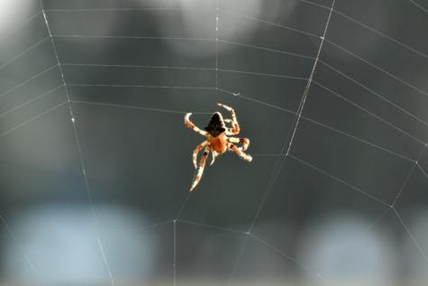 pauk, paučina, paukova mreža, arthropod, paučnjak, zamka, vrtni pauk, beskralješnjak, uzorak, paukova mreža