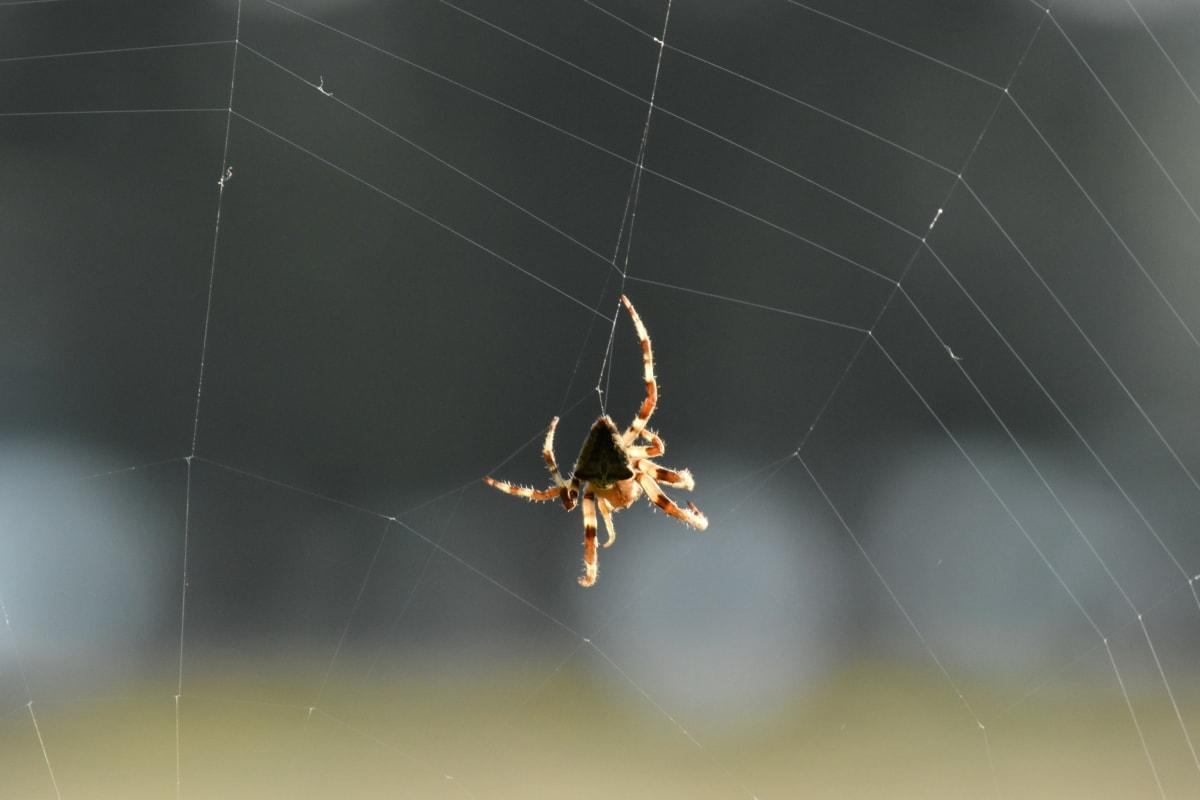 spider, spider web, web, hanging, cobweb, arachnid, trap, garden spider, spiderweb, insect