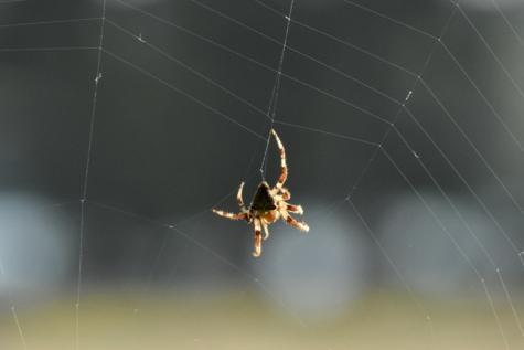 pauk, paukova mreža, web, vješanje, paukova mreža, paučnjak, zamka, vrtni pauk, paučina, kukac