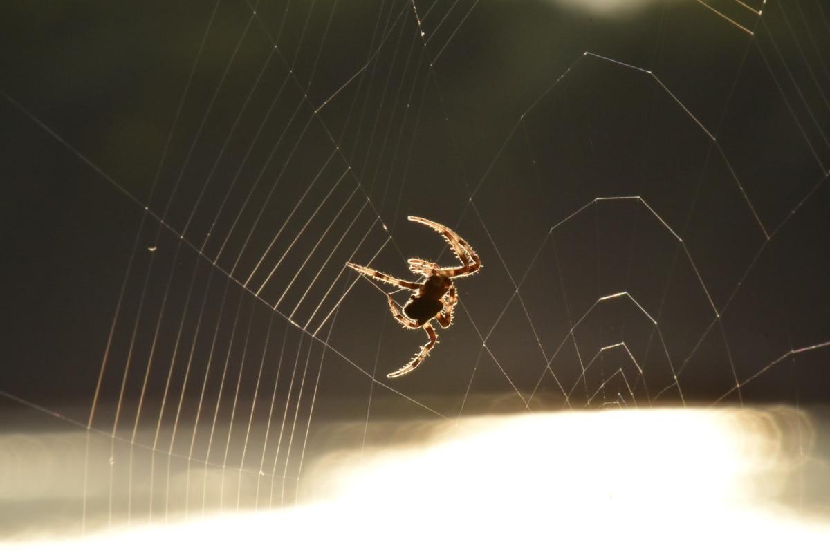 pavouk, pavučina, Sluneční svit, silueta, slunečních paprsků, pavučina, Arachnid, past, pavučina, nebezpečí