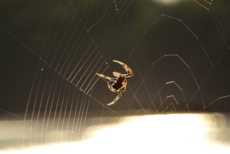 spider, spider web, sunshine, silhouette, sunrays, cobweb, arachnid, trap, spiderweb, danger