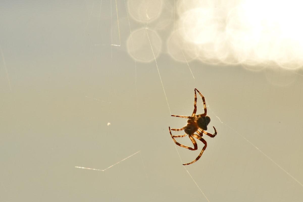 spider, spiderweb, sunshine, insect, arachnid, garden spider, spider web, arthropod, trap, cobweb