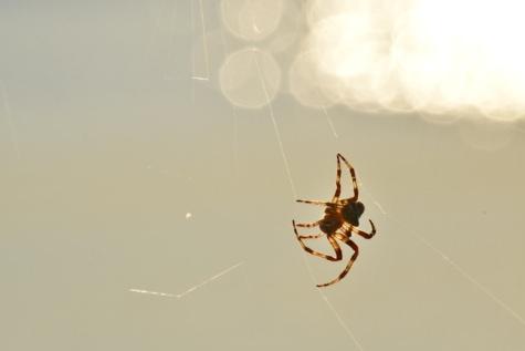 pavouk, pavučina, Sluneční svit, hmyz, Arachnid, zahradní pavouk, pavučina, členovec, past, pavučina