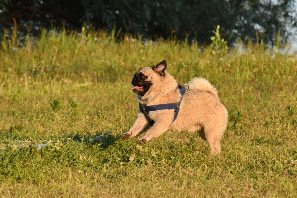 chien, ensoleillement, collier, saut d'obstacles, été, prairie, jouissance, canine, animal de compagnie, herbe