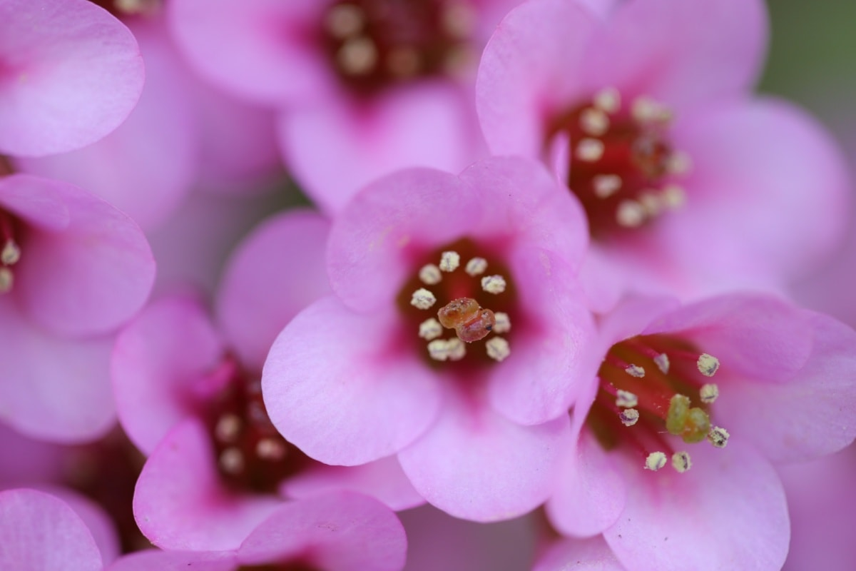 organism, pink, flower, plant, flowers, herb, beautiful, flora, color, nature