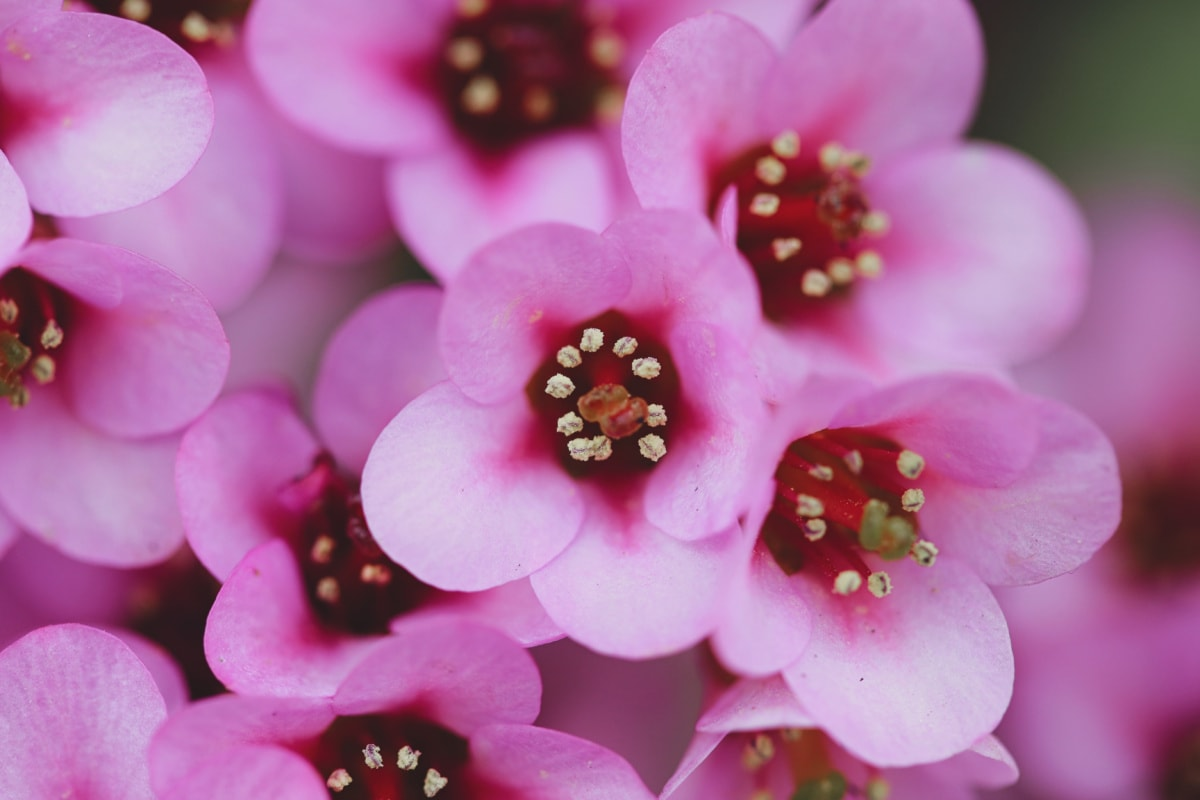 pink, plant, flowers, organism, herb, flower, flora, nature, beautiful, color