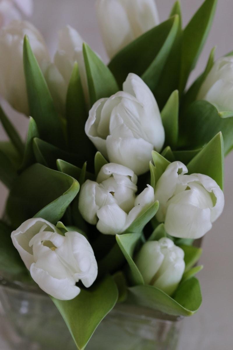 tulpen, witte bloem, groene bladeren, boeket, lente, blad, tulp, bloem, plant, bloesem