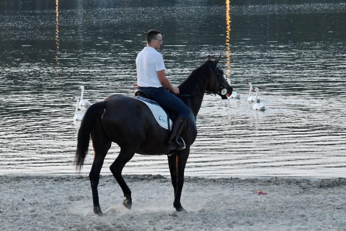 Strand, Pferd, See, Schwan, Mann, Fahrer, dem Rücken der Pferde, Hengst, Kavallerie, Trainer