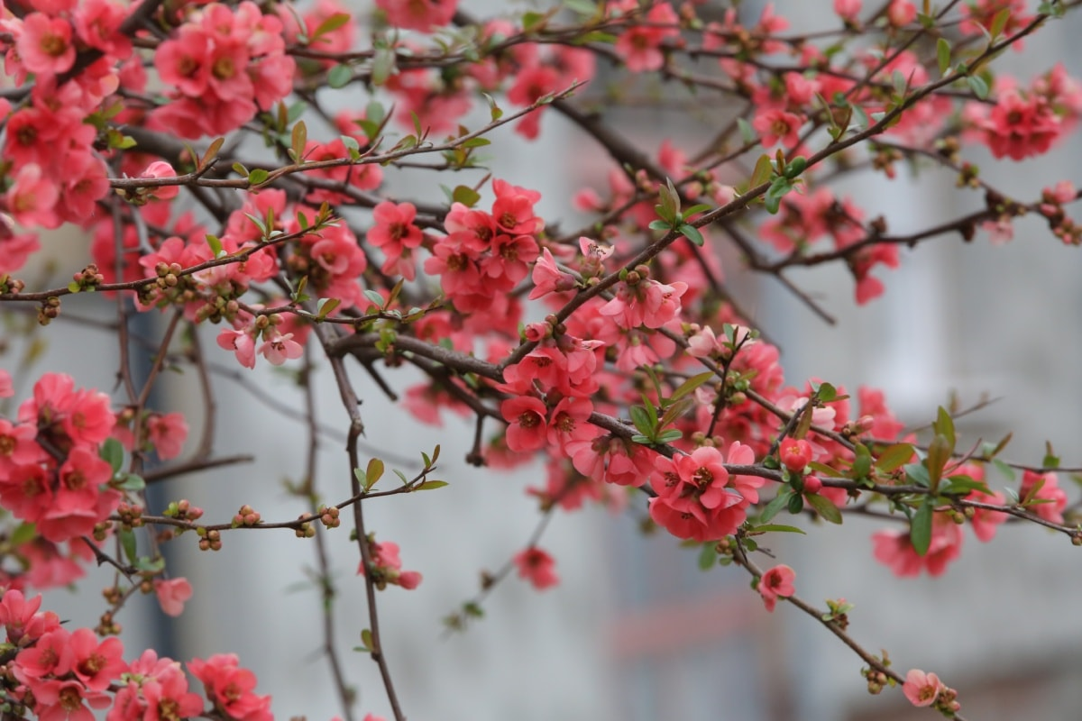 flowers, pinkish, branches, twig, spring time, nature, blooming, branch, flower, garden
