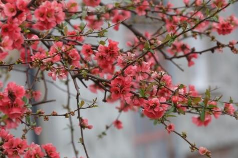 blommor, Rosa, grenar, TWIG, våren, naturen, blommande, gren, blomma, trädgård