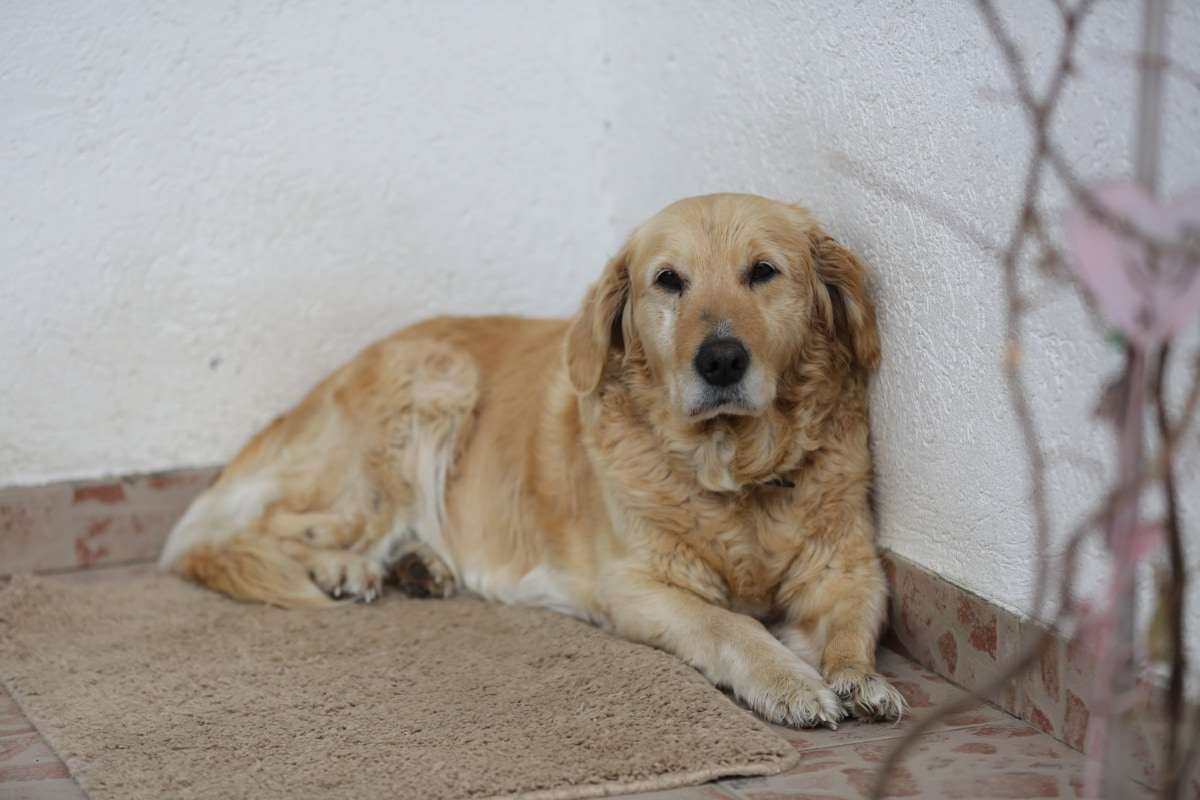 retriever, dog, golden glow, laying, cute, canine, puppy, hunting dog, pet, breed