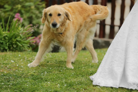 labrador, golden glow, dog, wedding, wedding dress, hunting dog, retriever, puppy, pet, cute