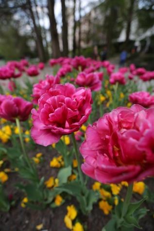 tulipán, kert, rózsaszín, park, közelkép, Kertészet, virág, kivirul, növény, virágok