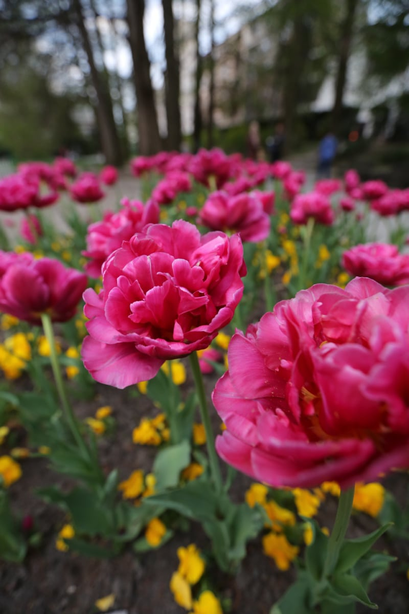 tulips, garden, pink, park, close-up, horticulture, flower, blossom, plant, flowers