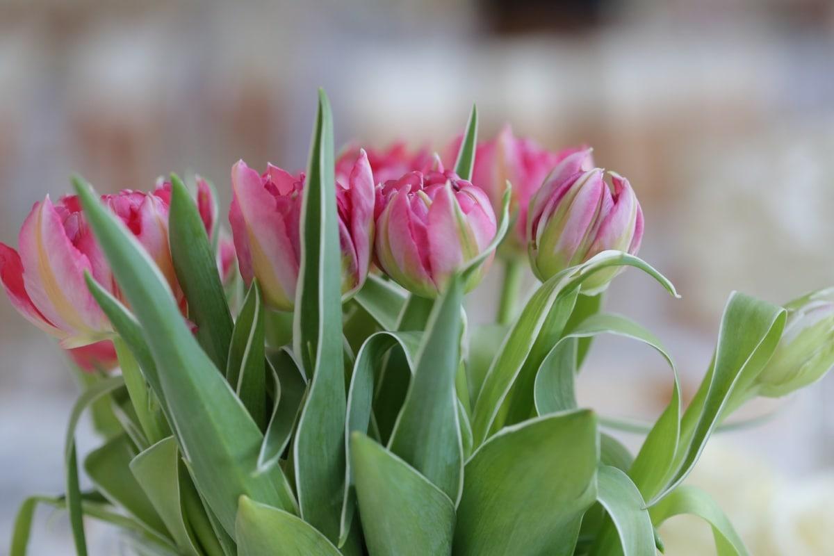 郁金香, 粉红色, 束, 绿色的树叶, 郁金香, 性质, 花, 春天, 花, 植物