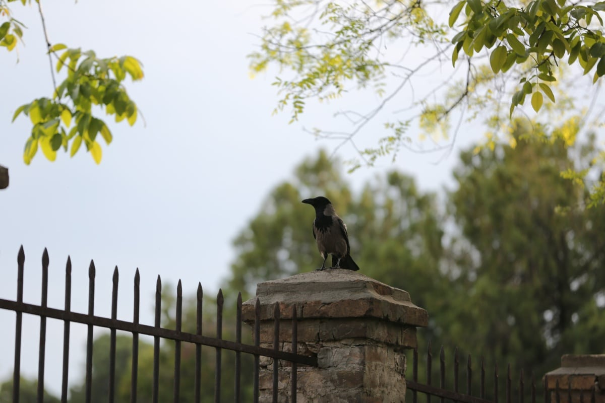 crow, cemetery, fence, bird, cast iron, standing, wildlife, beak, vulture, animal