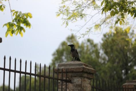Vrána, hřbitov, plot, pták, litina, stojící, divoká zvěř, zobák, SUP, zvíře