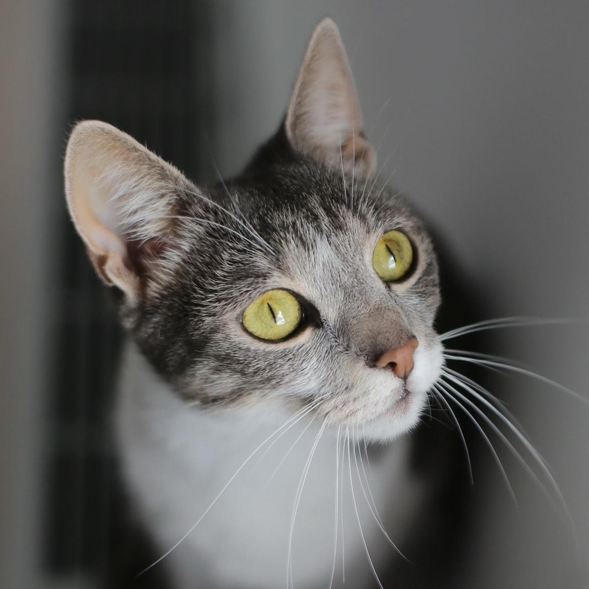 chat domestique, yeux, à la recherche, moustaches, cils, œil, chat, Portrait, mignon, domestique
