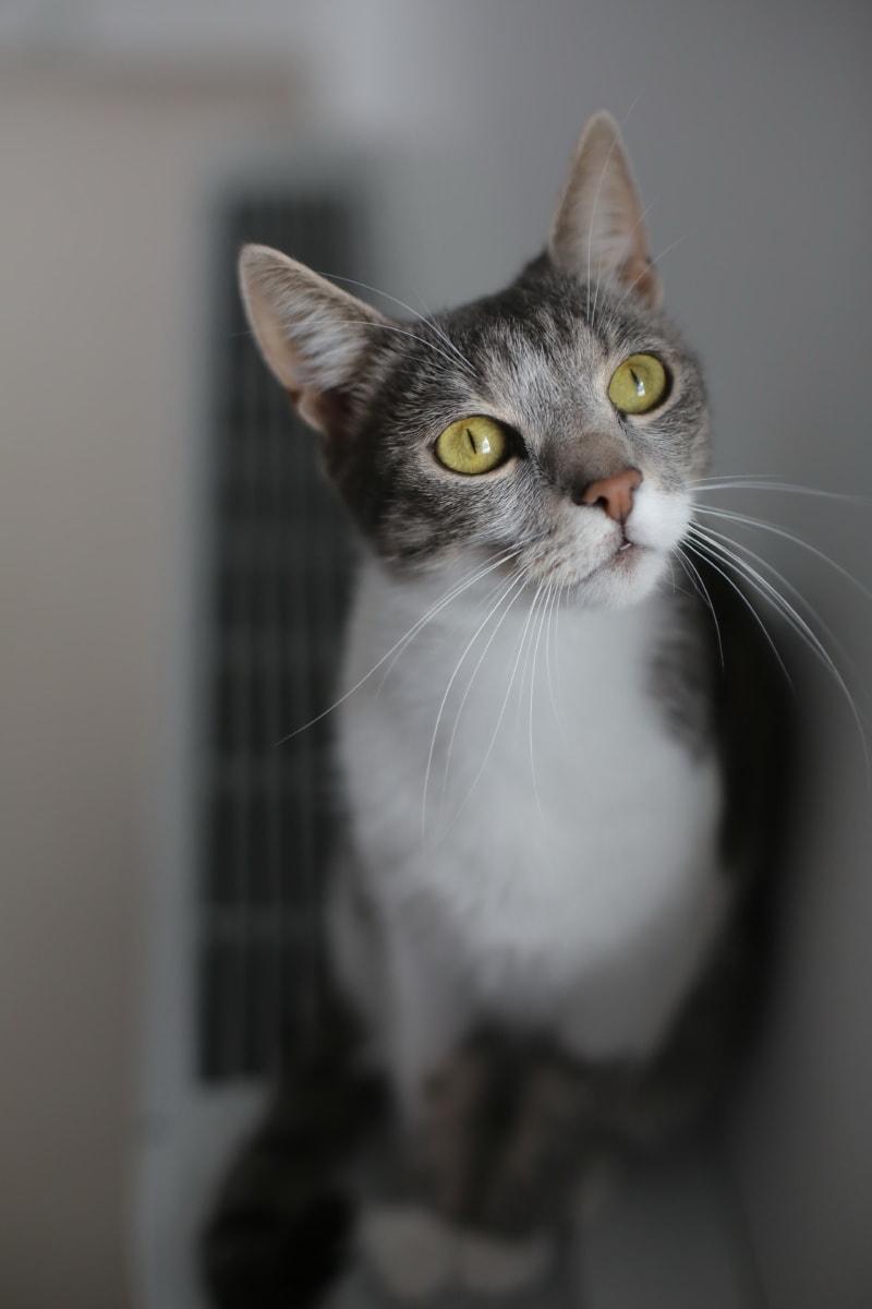 серый, домашняя кошка, котенок, глаза, размытые, мило, кошка, кошачьи, мех, глаз
