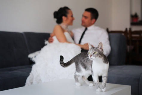 domestic cat, bride, apartment, groom, cat, kitty, feline, domestic, cute, pet