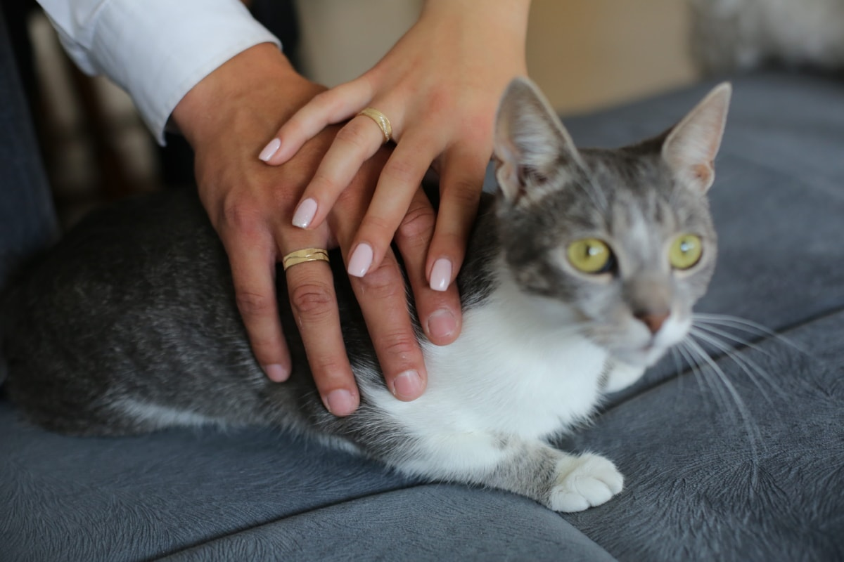 gold, wedding ring, rings, domestic cat, hands, cute, furry, fur, domestic, feline