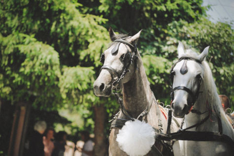 horses, white, celebration, carriage, harness, horse, stallion, animal, farm, head
