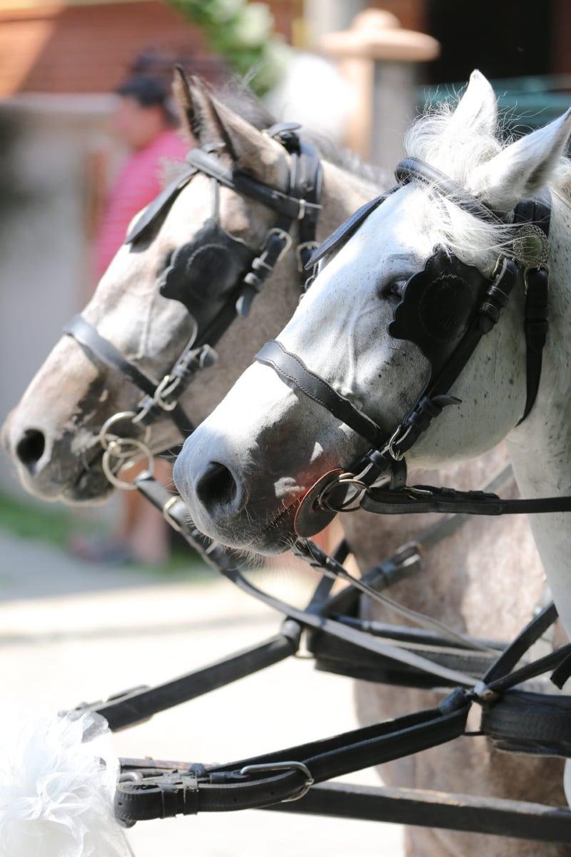 blanc, chevaux, tête, paire, harnais, animal, cheval, Stallion, unité, Rider
