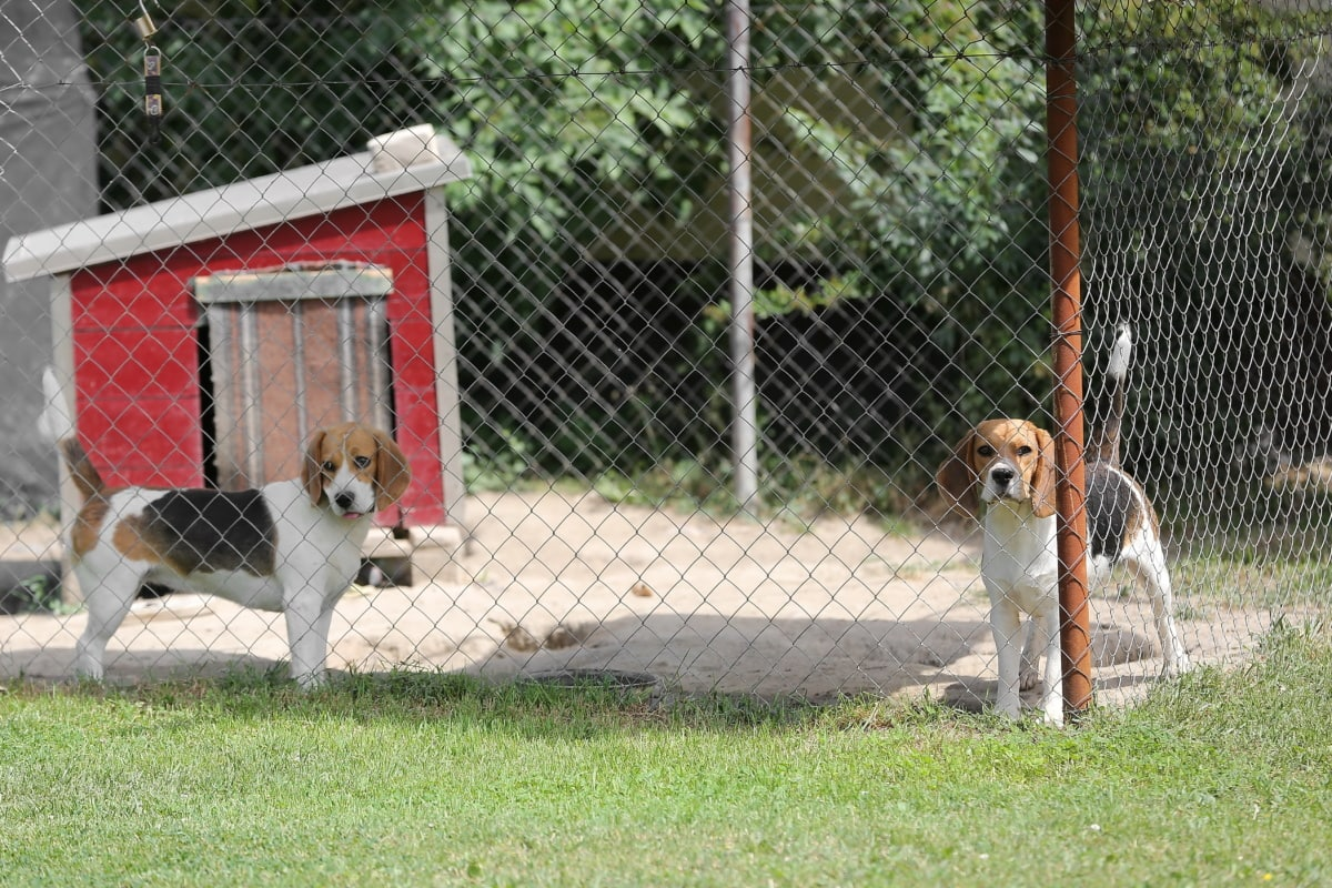 dogs, cage, hunting dog, canine, beagle, pet, hound, dog, fur, cute