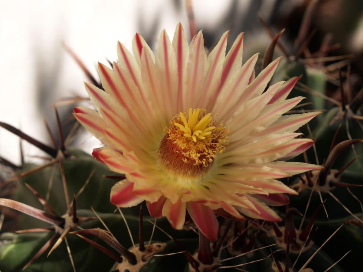 Cactus, belles fleurs, pistil, épine, pétales, fermer, fleur, succulentes, plante, pétale