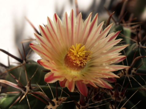 cactus, beautiful flowers, pistil, thorn, petals, close-up, flower, succulent, plant, petal