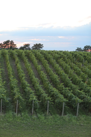 vineyard, hillside, hilltop, tree, plant, landscape, agriculture, nature, farm, field
