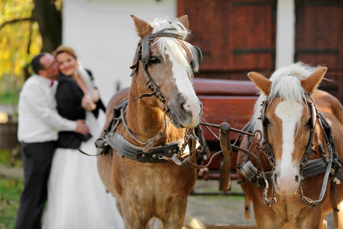 horses, carriage, romantic, hug, groom, kiss, bride, horse, cavalry, people