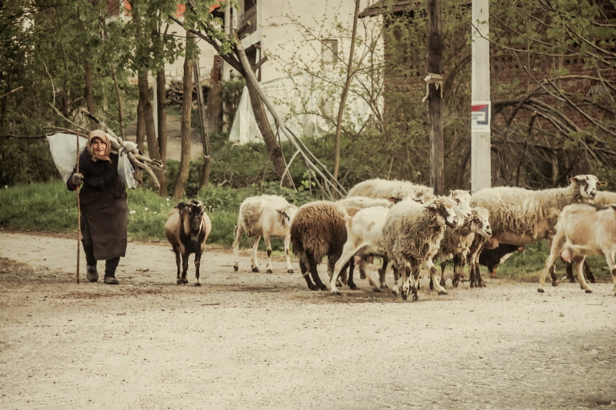granny, village, rural, old, sheep, old woman, crossroads, cross section, poverty, lamb