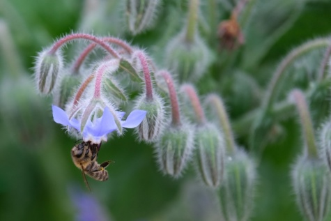 honeybee, flowers, hanging, bee, detail, insect, organism, nature, plant, herb