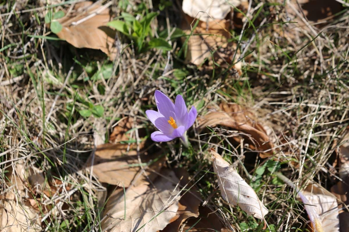 Krokus, violett, gelblich-braun, Trockenzeit, Frühling, Blume, Flora, Kraut, Anlage, Blüte