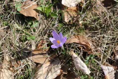 Крокус, пурпурно, желтовато коричневый, сухой сезон, весна, цветок, флора, трава, завод, цвести