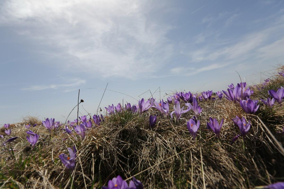 Hügel, Krokus, Feld, Natur, Lavendel, Ostern, Gras, Blume, Anlage, Farbe