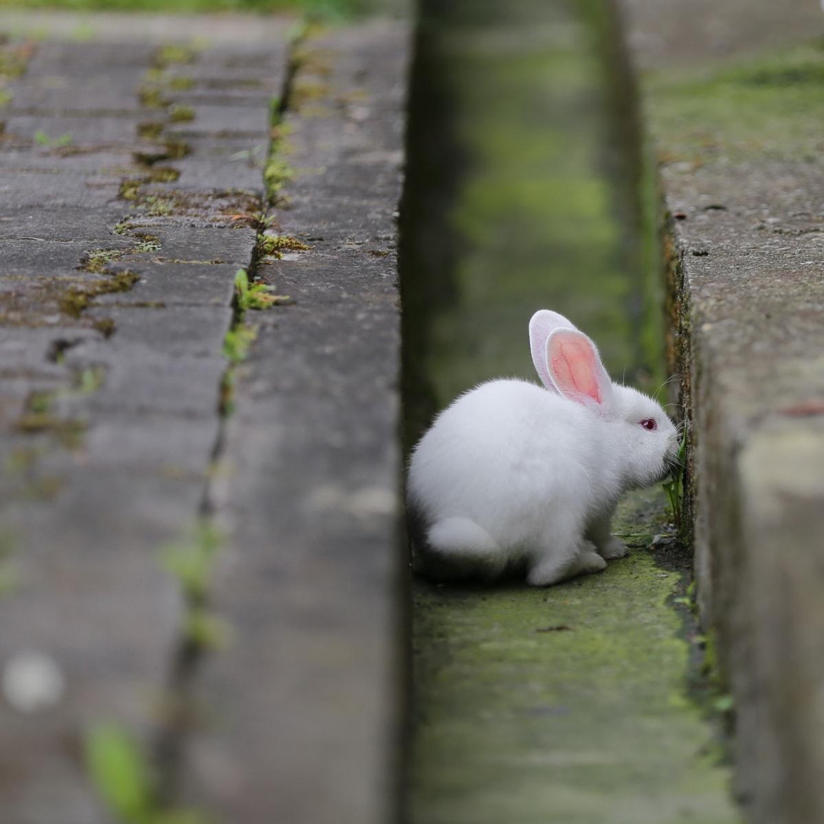 rabbit, pet, albino, rodent, bunny, animal, fur, cute, nature, grass