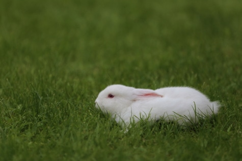 domestic, white, rabbit, green grass, lawn, animal, side view, portrait, pet, fur