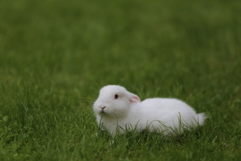 green grass, laying, bunny, animal, white, adorable, rabbit, albino, fur, rodent