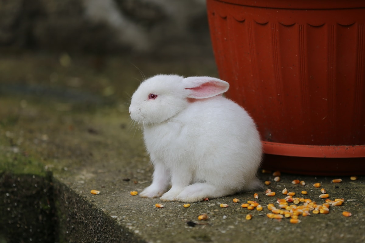 blanc, Albino, Bunny, animal de compagnie, domestique, rongeur, animal, Fourrure, furry, mignon