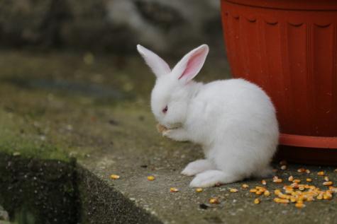rabbit, ear, albino, corn, eating, kernel, rodent, domestic, cute, fur