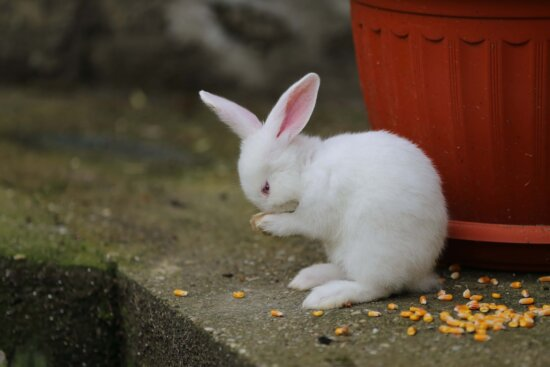 adorable, white, rabbit, bunny, standing, eat, cute, fur, domestic, furry